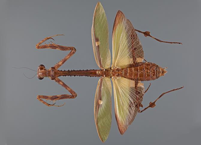 Mantis Camo Cleveland Museum Of Natural History