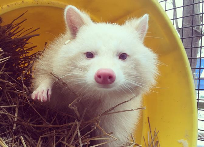 Meet meeko the albino raccoon cleveland museum of for Do raccoons eat fish