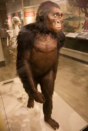 Australopithecus Lucy Discovered