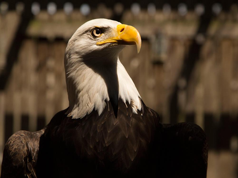 Turkey Vulture Ohio Natural History Museum